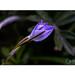 Aphyllanthes monspeliensis: « Cueillez, cueillez votre jeunesse : comme à cette fleur, la vieillesse fera ternir votre beauté », Pierre de Ronsard