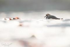 aïe (stephanegachet) Tags: france bretagne breizh bzh morbihan ploemeur sea seabird bird oiseau gravelot animal nature wildlife stephanegachet gachet