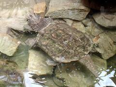 barcelona_3_730 (OurTravelPics.com) Tags: barcelona alligator snapping turtle terrarium zoo