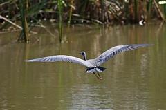 White-faced Heron - HWW (DaveSPN) Tags: whitefacedheron wingwednesday heathdaleglenordenwetlands werribee melbourne victoria australia canon7dll