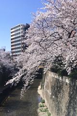 untitled (t-miki) Tags: itabashi tokyo 板橋 東京 cherryblossom 桜 shakujiiriver river 石神井川 川