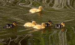Baby duck family (Tony Worrall) Tags: ducks ducklings wild wildlife nature natural swim canal wet water sunlit beauty cute nice preston lancs lancashire city welovethenorth nw northwest north update place location uk england visit area attraction open stream tour country item greatbritain britain english british gb capture buy stock sell sale outside outdoors caught photo shoot shot picture captured ilobsterit instragram photosofpreston ashtononribble ashton