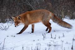 Red fox (Vulpes vulpes) Vos (Ron Winkler nature) Tags: fox vulpesvulpes vulpes vos canid canidae predator carnivore mammal mammalia nature wildlife netherlands nederland europe canon 5div 100400ii