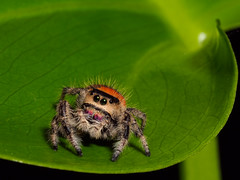 Regal Jumping Spider-F4060148 (tony.rummery) Tags: closeup em5mkii insect jumping mft macro microfourthirds omd olympus phidippusregius regal spider camberley england unitedkingdom gb