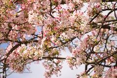 Bloesem (Nicolette Vermeulen) Tags: spring tree boom natuur nature pink roze lente voorjaar bloemen bloesem flowers flower blossom
