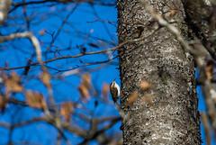 Grimpereau des bois (JeanJoachim) Tags: grimpereaudesbois certhiafamiliaris eurasiantreecreeper passeriformes certhiidae oiseau bird vogel aves uccello fågel fugl pássaro バード lintu птица ptak pentaxk5iis smcpentaxda300mmf4edifsdm waldbaumläufer