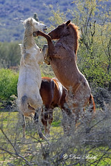 _V5A2149 (littlebiddle) Tags: arizona wildhorse saltriver nature wildlife