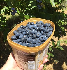 Just arrived home after a day of blueberry picking in the Otways 💙 (sallysetsforth) Tags: gellibrand victoria otways blueberries berries blueberry fruit picking