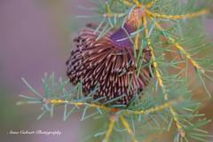 Banksia Nutans (Anna Calvert Photography) Tags: australia canberra fauna flora flowers landscape macro nature outdoors scenery flower plant canberrabotanicalgardens australiannative native banksianutansvcernuella banksianutans
