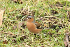 Handsome Chap Chaffinch (Wildlife Terry) Tags: rspbleightonmoss silverdale lancashire february 2019 winter201819 arnside aonb naturereserve reedbeds marsh pools hides causeway male chaffinch