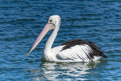 Pelican at the Waterfront (Merrillie) Tags: woywoy waterfront bills nature water birds newsouthwales nsw brisbanewater wildlife feathers australia coastal wings outdoors animals fauna centralcoast bay pelican