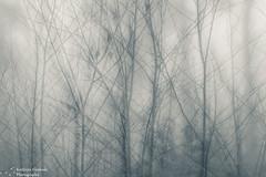 Branches (kaths piccies) Tags: trees fog frenshamlittlepond blackandwhite multipleexposure canon100mmf28l