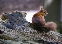All Sweetness And Light (Fourteenfoottiger) Tags: redsquirrel mammal nature forest woods trees woodland squirrel tufty cute coy sweet backlit sunshine