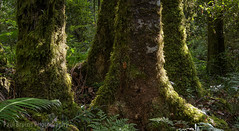 Mossy Ironwoods (Panorama Paul) Tags: paulbruinsphotography wwwpaulbruinscoza southafrica southerncape gardenroute knysnaforest indigenousforests moss ironwood nikond800 nikkorlenses nikfilters