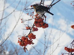 Varied Thrush (starmist1) Tags: bird variedthrush mountainash tree branch limb twig perch berries orangeberries cascadefoothills mountains bokeh white february winter cold backyard wood