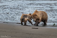 _HB33505 (Hilary Bralove) Tags: lakeclarknationalparkbrownbearsbearsalaskanikonwildlifegrizzlygrizzlybearbrownbearanimalswildlifephotographer alaksa brownbears grizzlybears bear bears grizzly brownbeargrizzly bearlake clarkwildlifealaska wildlifenikonlake clark national park