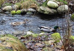 Looks like Spring (EcoSnake) Tags: ducks mallards march winter stream water wildlife waterfowl idahofishandgame naturecenter