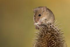 Little mouse (Chris Sweet 85) Tags: harvestmouse mouse nature creativelight nikon nikond7100