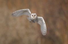 Barn Owl (Steve D'Cruze) Tags: barn owl tyto alba nikon d500 sigma 150600mm