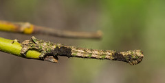 IMG_4733  尺蛾科 Geometridae (vlee1009) Tags: 2019 60d canon march nantou taiwan nature caterpillars moths