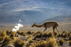 4San Pedro07 de marzo de 2019 (Photo_hector) Tags: san pedro alpaca llama geiser antofagasta segundaregion