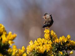 Dartford Warbler (Steve Moore-Vale) Tags: dartford warbler dartfordwarbler undata gorse heath heathland birds nationaltrust nature animals avian spring yellow sylvia uk england suffolk wildlife eastanglia