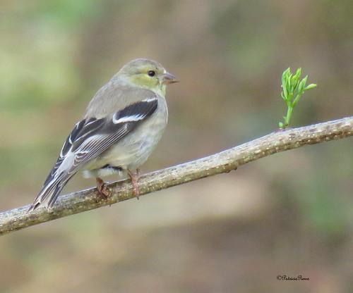 female goldfinch2