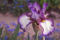 Iris (Stephen G Nelson) Tags: plant flower iris botanicalgarden tucson arizona