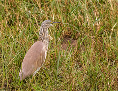 10b-squaccoheron-2884 (h.redpoll) Tags: kazingachannel boatride queenelizabethnationalpark squaccoheron uganda