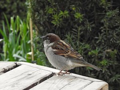 House sparrow (Simply Sharon !) Tags: housesparrow sparrow bird wildlife britishwildlife nature tropicalbutterflyhousewildlifeandfalconrycentre