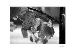 Hanging In (radspix) Tags: yashica 230af kyocera 2885mm f3545 arista edu ultra 100 pmk pyro