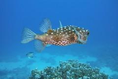 Diodon holocanthus (kmlk2000) Tags: redsea merrouge hurghada safaga egypt egypte vacation underwater uwpics sealife underwaterworld ocean sea colorfull fish poisson dc2000