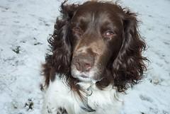 Benjy (billnbenj) Tags: benjy spaniel springerspaniel dog barrow cumbria snow
