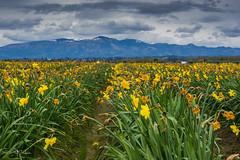 Spring blooms in Skagit Valley! (Atif_M_Khan) Tags: yellow 500px blue flowers plants k3 landscape mountain outdoors pentax skagit skagitvalley spring travel washington weare500px mountains flowersplants pentaxk3