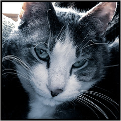 Mister Whiskers (Timothy Valentine) Tags: whiskers 0119 backlight quinnomannion happycaturday 2019 home cat eastbridgewater massachusetts unitedstates us personality