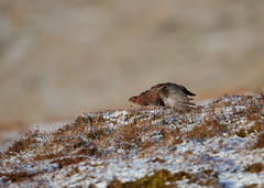 Red Grouse (Martial2010) Tags: red grouse angus glen scotland canon