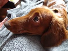 looking (carolyuki) Tags: dog cute light dachshund カンニンヘン 犬 ダックス 愛犬