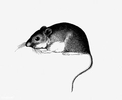 Mouse shade drawing (Free Public Domain Illustrations by rawpixel) Tags: 1853 animal antique art artwork cc0 creativecommons0 drawing element engraved engraving fineart graphic graphite hesperomystexana illustration ink lines lorenzo lorenzositgreaves mouse name painting pencil publicdomain rat retro shade shaded sitgreaves sketch sketching tail vintage wild wildlife