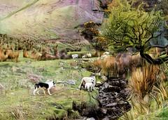 A dilemma (cleigh01) Tags: sheep sheepdog collie bordercollie lamb ddg topaz photoshop digitalpainting littledale england countryside englishcountryside field workingdog