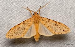 Tiger moth, Lophocampa sp., Erebidae (Ecuador Megadiverso) Tags: andreaskay arctiidae ecuador erebidae moth tigermoth wildsumaco lophocampa