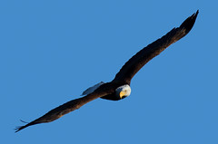 Aiming At ... (rambokemp) Tags: bald eagle phoenix arizona pond wetland bird in flight