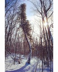 """""""And into the forest I go, to lose my mind and find my soul."""" -John Muir (And to find an amazingly beautiful weird tree) (jessalynn_sammons) Tags: thebrucetrail brucetrail shotoncanon canoncanada canon bendy bend weirdtree explore beautifulday sunnyday sun beautiful cold winter snow nature forest hike tree instagram ifttt"""
