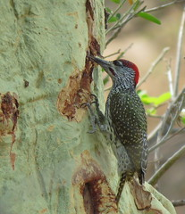 Golden-tailed Woodpecker / Goudstertspeg (Pixi2011) Tags: birds krugernationalpark southafrica africa nature coth coth5