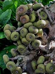 A good crop (st_asaph) Tags: pinellas largo focusauriculata largobotanicalgardens figtree roxburghfig figs