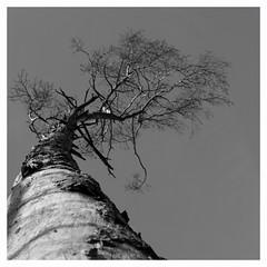 Là-haut... (Esteban 86360) Tags: forêt forest bois wood tree arbre moulière vienne poitou france campagne alone landscape country hiver montamisé 86 tronc ciel sky noir blanc grey nb pin