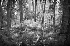 Swamp Land (The Vintage Lens) Tags: florida swamp bw black white monochrome nature ferns flora