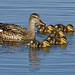 Gadwall with chicks