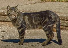jlvill  176  Gato callejero (jlvill) Tags: gatos 1001nights