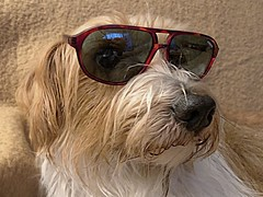 anonym - Ibo vom Bodensee - Kromfohrländer (wb.fotografie) Tags: hundkromfohrländeranonymsonnenbrille bodensee ibo kromfohrländer hund rüde ibovomaubrig