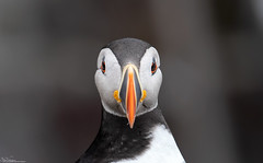 Puffin portrait (Steve (Hooky) Waddingham) Tags: stevenwaddinghamphotography animal countryside coast bird british nature northumberland wild wildlife planet fishing farnes sea